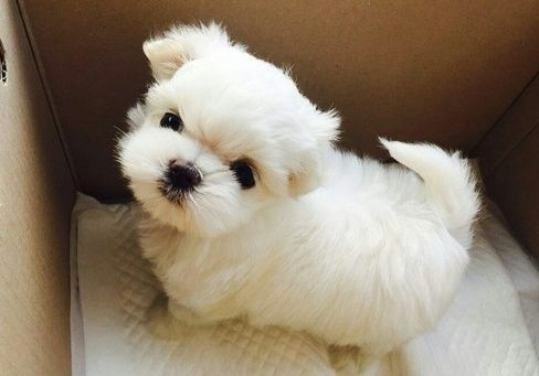 maltese puppies for sale in oklahoma maltese puppies for sale tulsa ok 268796 petzlover 8203