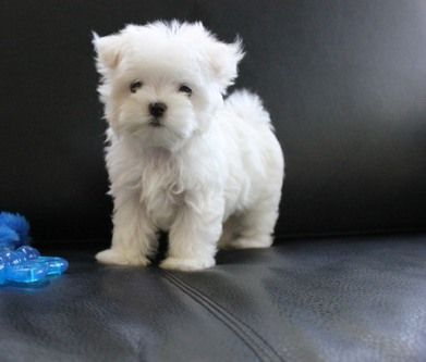 Maltese Puppies For Lafayette