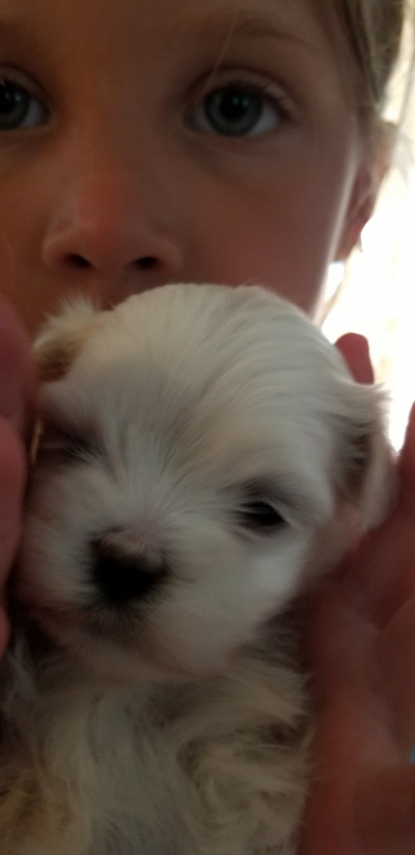 maltese puppy for sale in illinois maltese puppies for sale collinsville il 278648 2091