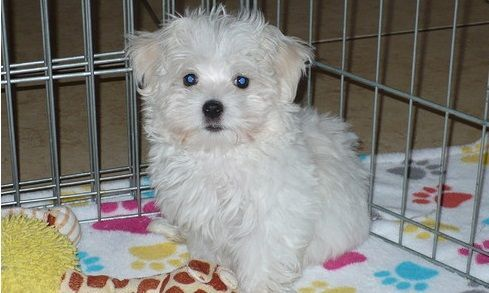 maltese breeders in michigan maltese puppies for sale lansing mi 285904 petzlover 4338
