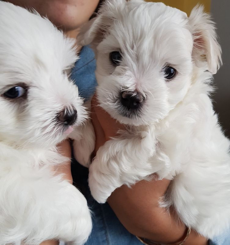 maltese puppy for sale in illinois maltese puppies for sale chicago il 287365 petzlover 5795