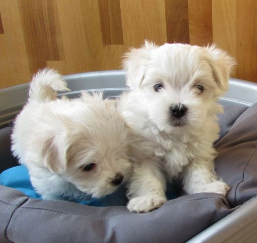 maltese puppy for sale in tn maltese puppies for sale nashville tn 287576 petzlover 4885