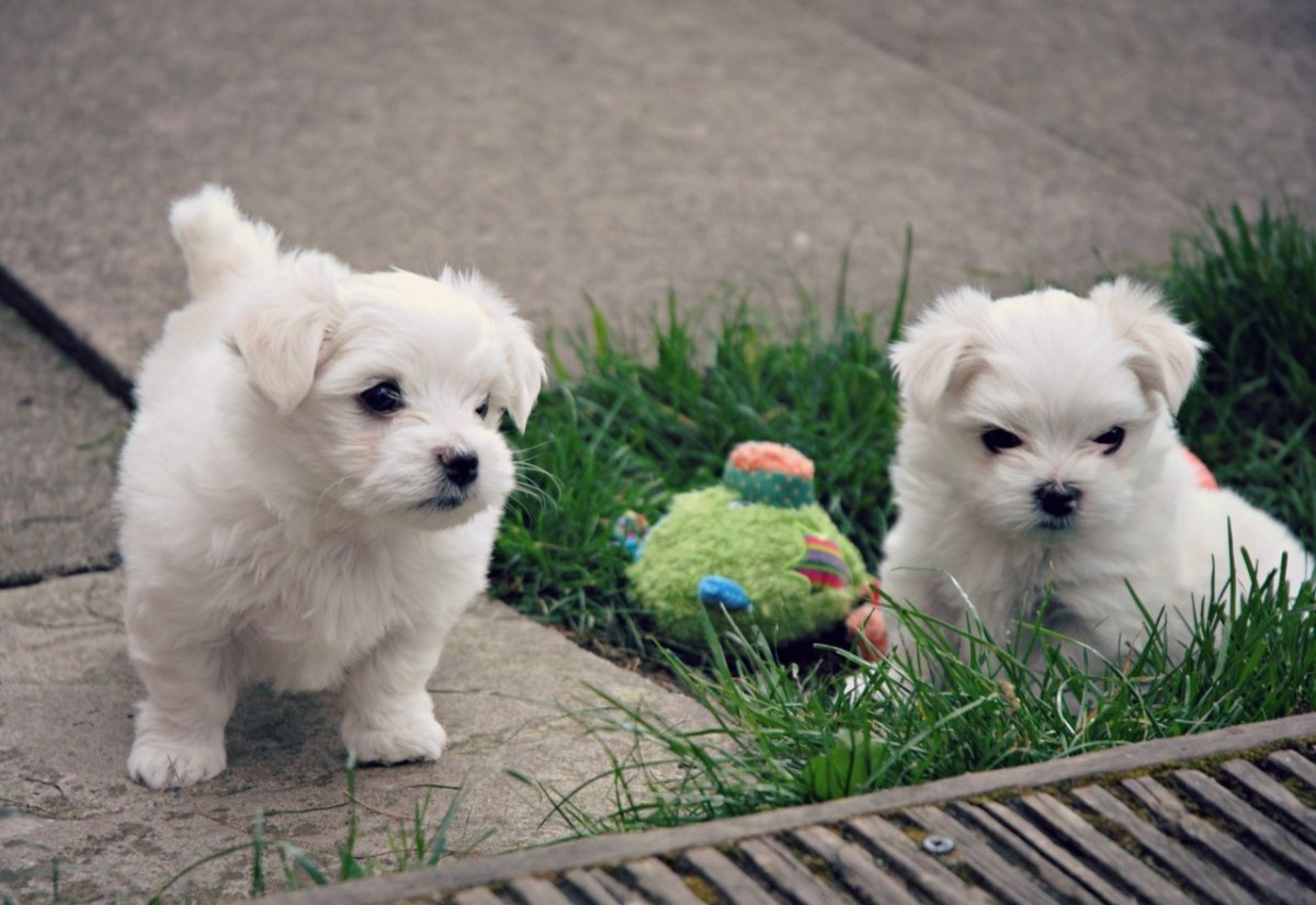 maltese puppies for sale in oklahoma maltese puppies for sale frazier creek road ok 287612 7465