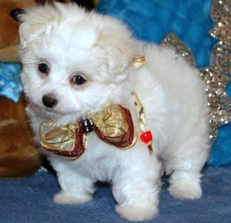 maltese puppy for sale in ohio maltese puppies for sale bexley oh 288306 petzlover 8819