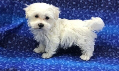maltese breeders in michigan maltese puppies for sale warren mi 288951 petzlover 4515