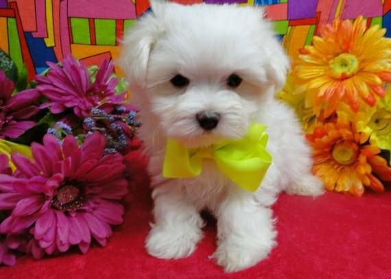 maltese puppy for sale in illinois maltese puppies for sale chicago il 289442 petzlover 7447