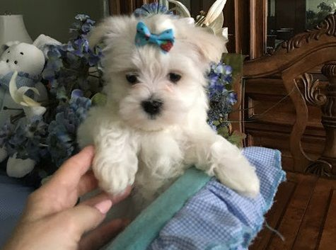 maltese puppy for sale in illinois maltese puppies for sale chicago il 290252 petzlover 8491