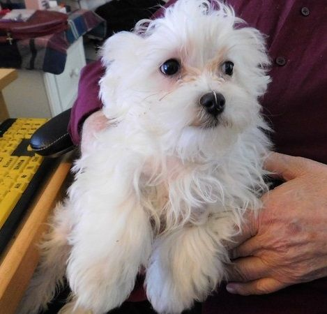 maltese puppies for sale in ky maltese puppies for sale louisville ky 290466 6551