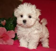 maltese puppy for sale in illinois maltese puppies for sale chicago il 291488 petzlover 7702