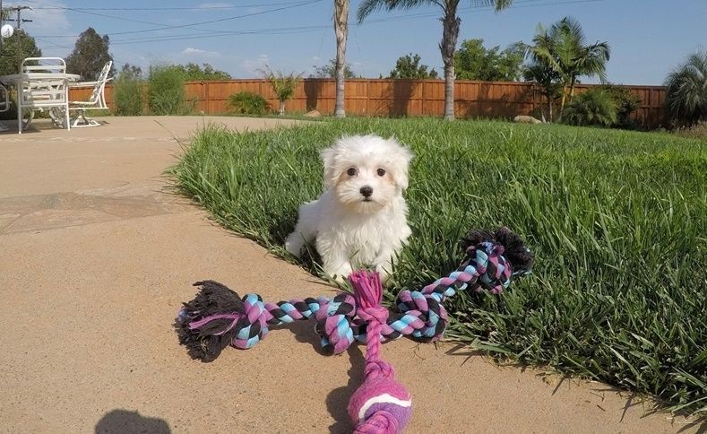 maltese puppies for sale in oklahoma maltese puppies for sale tulsa ok 292141 petzlover 7465