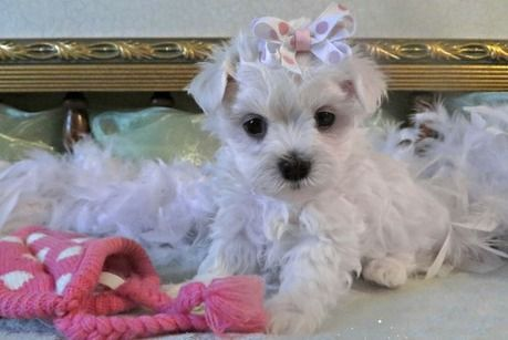 maltese puppies for sale in sc maltese puppies for sale charleston sc 296661 2163