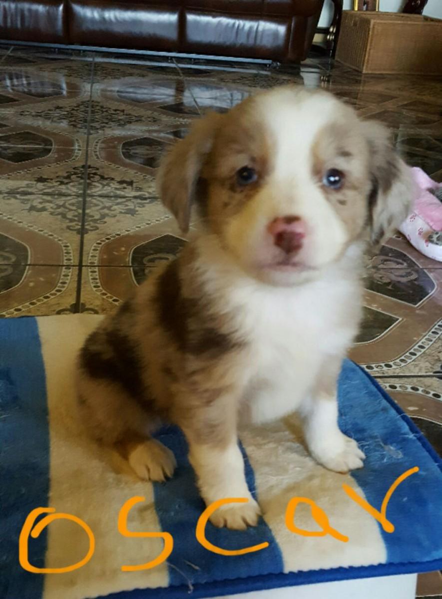 Miniature Australian Shepherd Puppies For Sale | Dayton ...