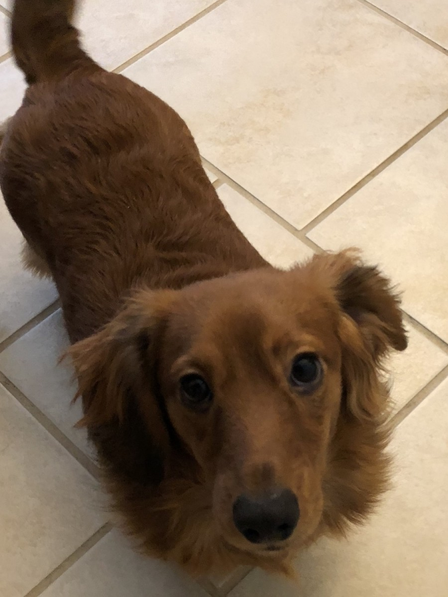 500 miles_Miniature Dachshund Puppies For Sale | Belleville, IL #287726