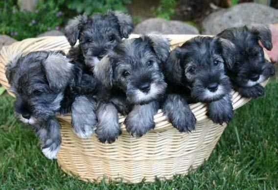 Miniature Schnauzer Puppies for Sale in Mississippi