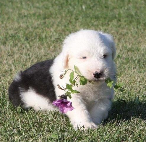 Old English Sheepdog Puppies For Sale | Atlanta, GA #213062