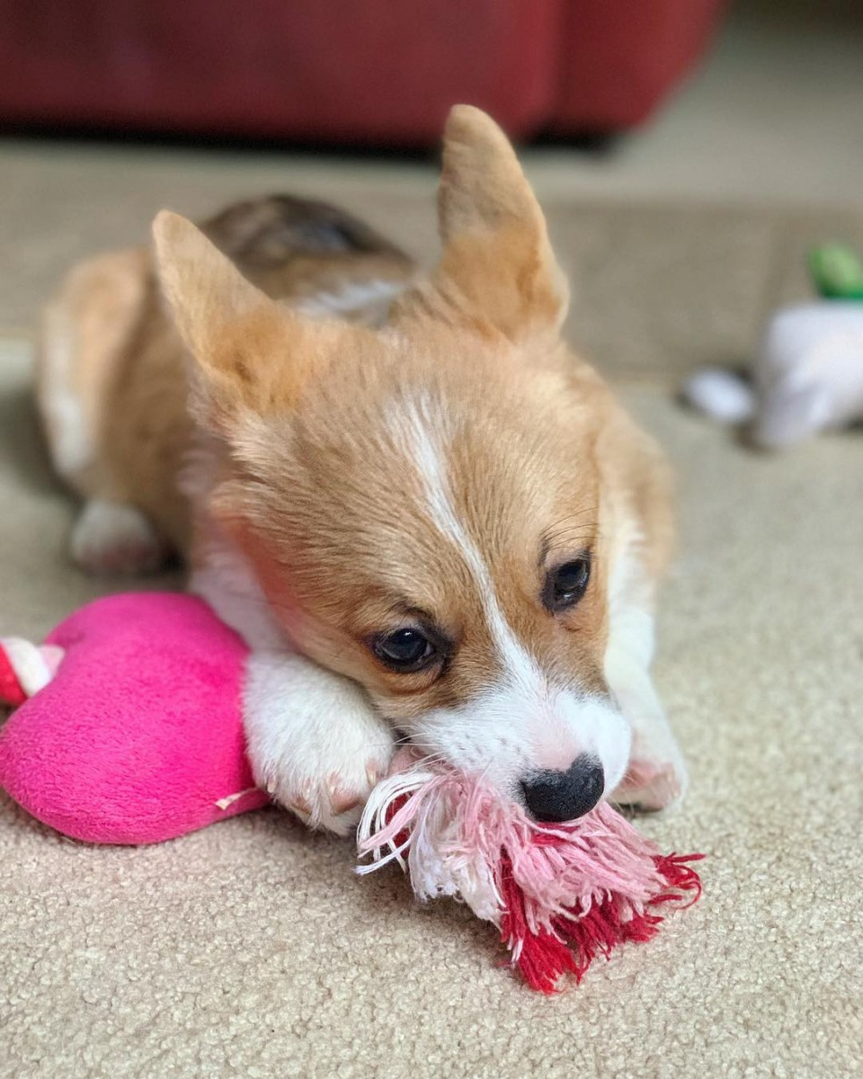 Pembroke Welsh Corgi Puppies For Sale San Diego Ca 293459