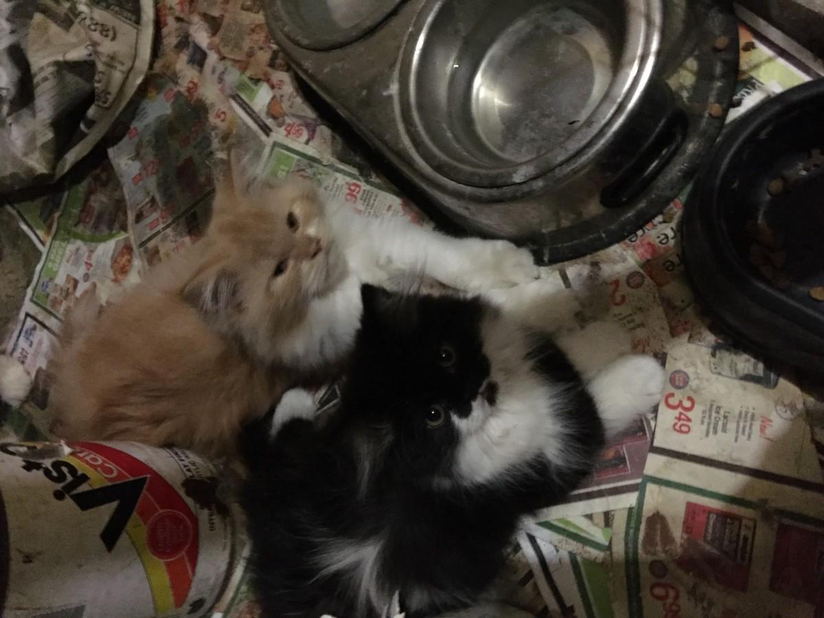 Persian cats orange county