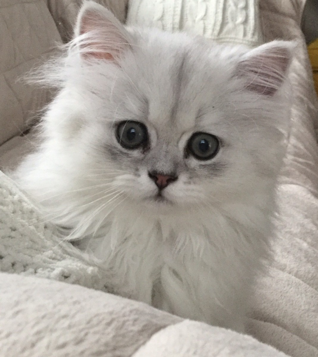 Chinchilla For Sale >> Persian Cats For Sale | Hershey, PA #218282 | Petzlover