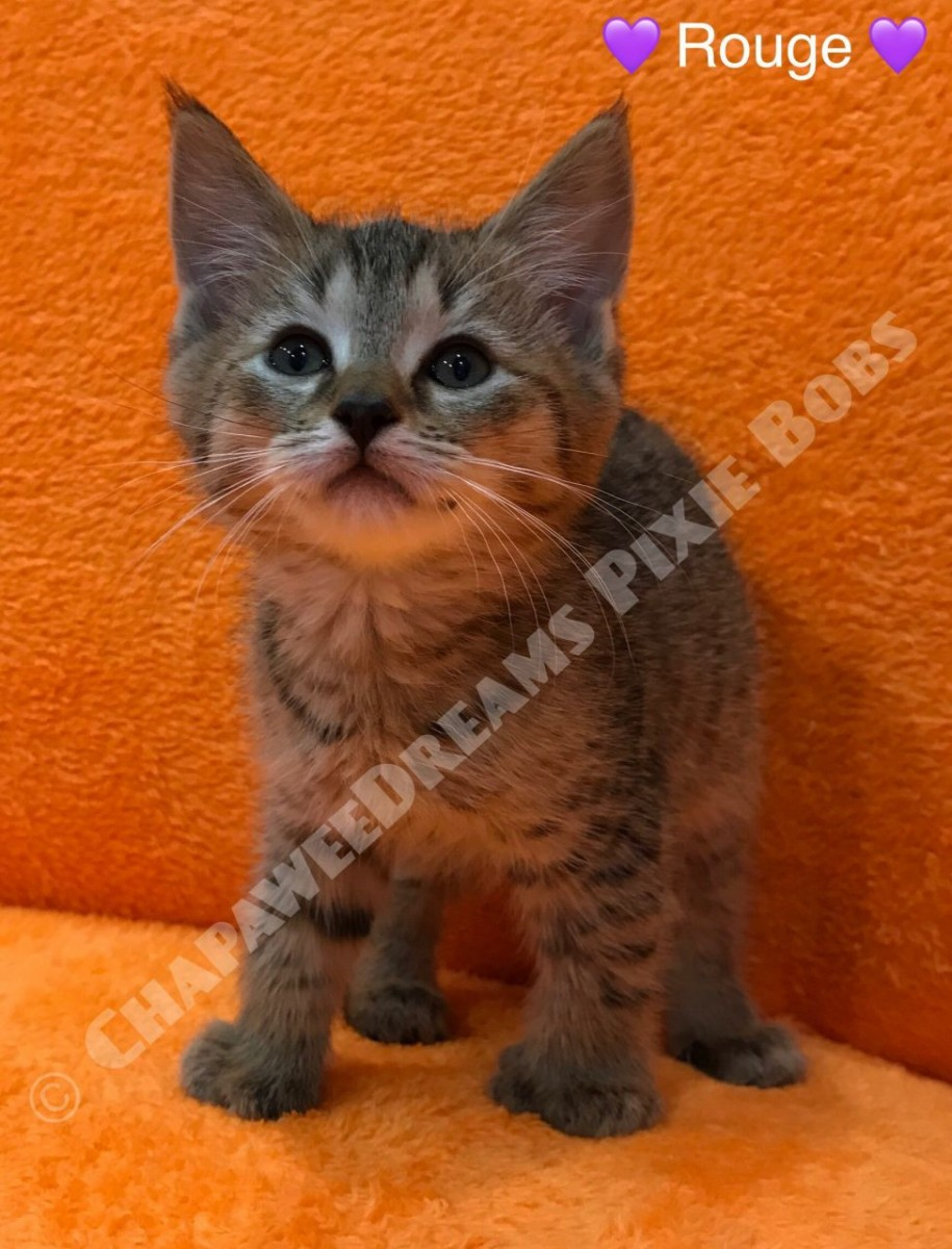 Pixie-bob Cats For Sale | Colorado Avenue, CA #239648