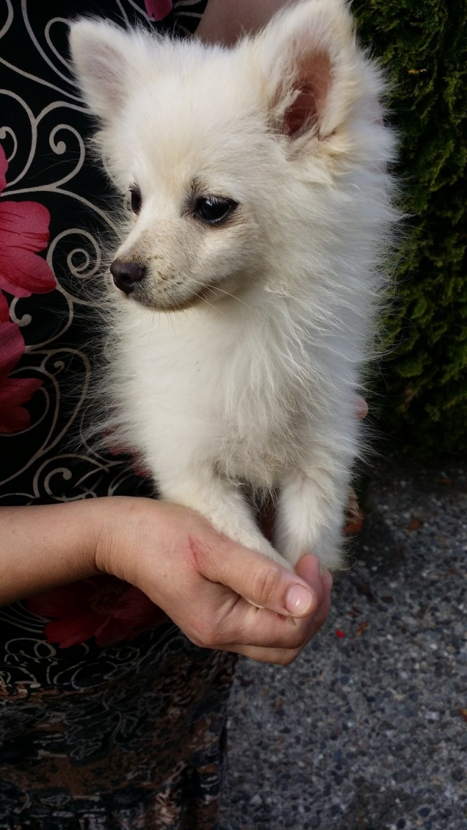 pomeranian puppies for sale in washington pomeranian puppies for sale everett wa 194923 4254