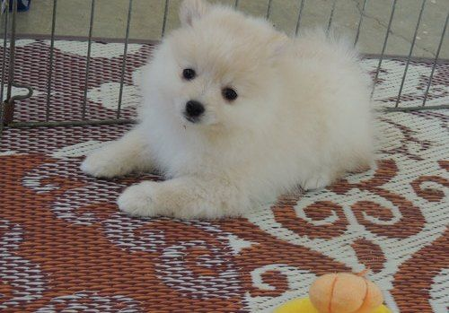 pomeranian puppies for sale in pittsburgh pa pomeranian puppies for sale highland park pa 212761 2145