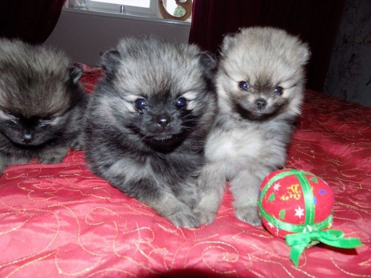 pomeranian for sale in sc pomeranian puppies for sale columbia sc 255568 2123