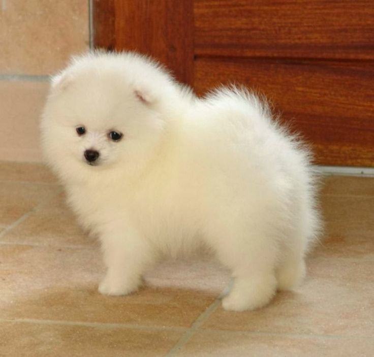 pomeranian puppies for sale in illinois pomeranian puppies for sale decatur drive salem 8106