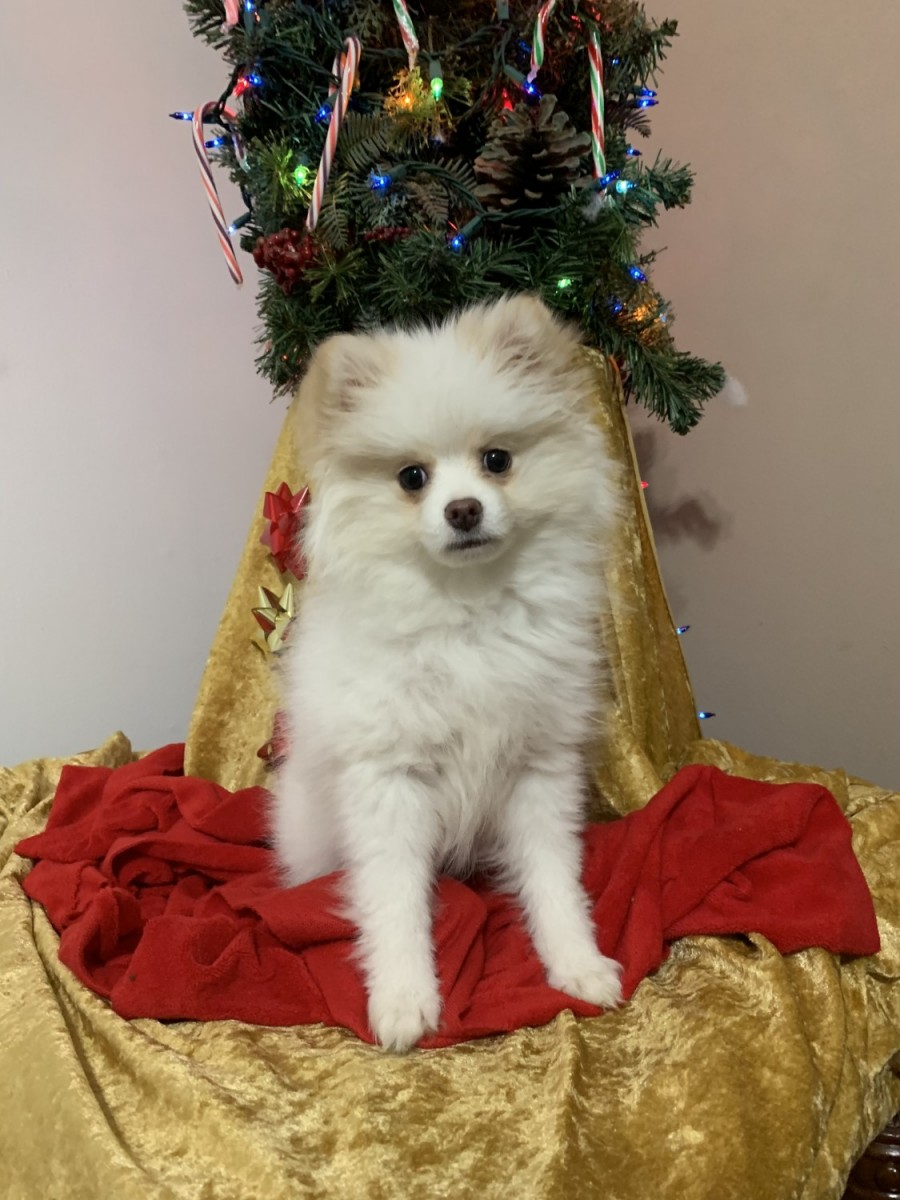 pomeranian puppies for sale in alabama pomeranian puppies for sale huntsville al 287897 4768