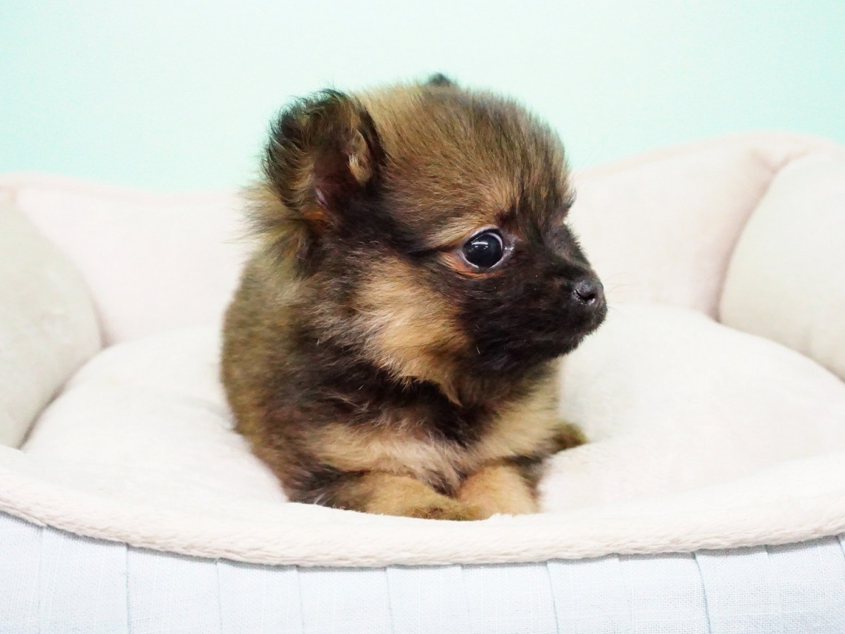 pomeranian puppies for sale in orange county pomeranian puppies for sale orange county ca 288259 4262