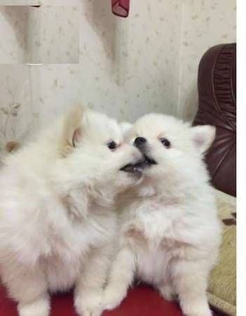 pomeranian chicago pomeranian puppies for sale chicago il 288443 4163