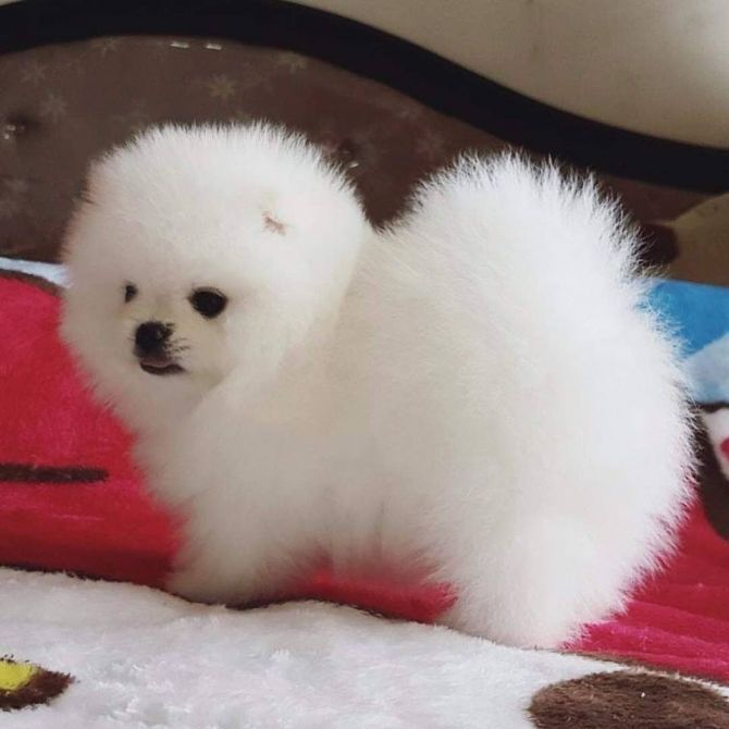 pomeranian chicago pomeranian puppies for sale chicago il 288898 3702