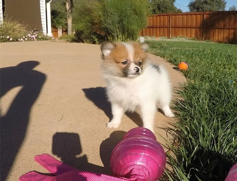 pomeranian for sale in sc pomeranian puppies for sale north myrtle beach sc 291021 4834