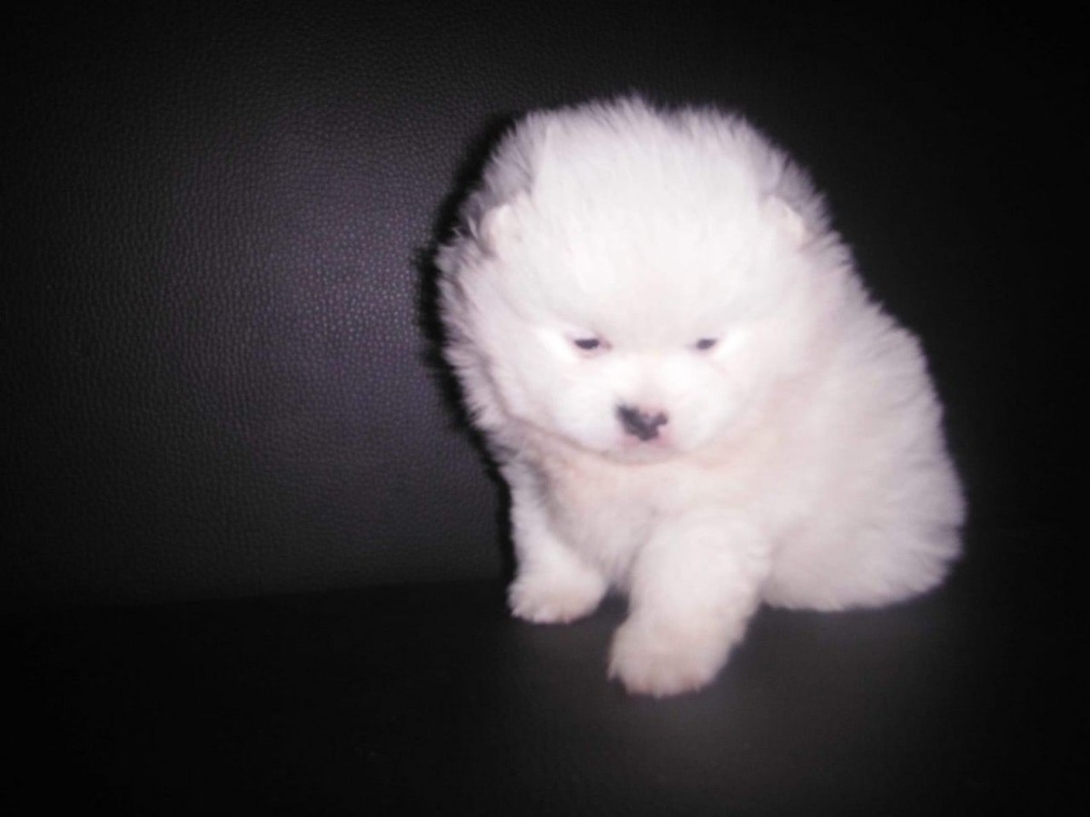 pomeranian puppies for sale in pittsburgh pa pomeranian puppies for sale pittsburgh pa 296188 6573