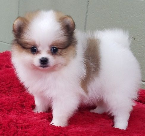 pomeranian puppies for sale in illinois pomeranian puppies for sale chicago il 296923 575