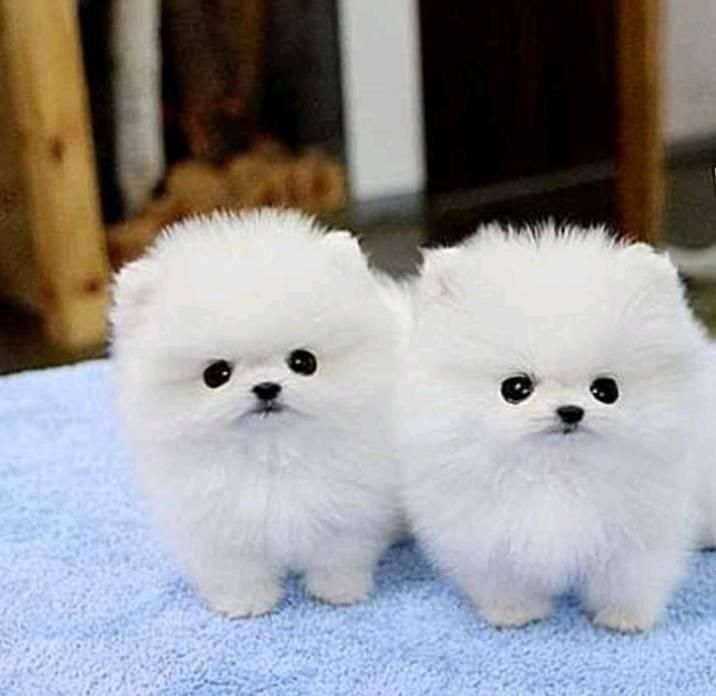 pomeranian for sale in sc pomeranian puppies for sale columbia sc 297736 1402