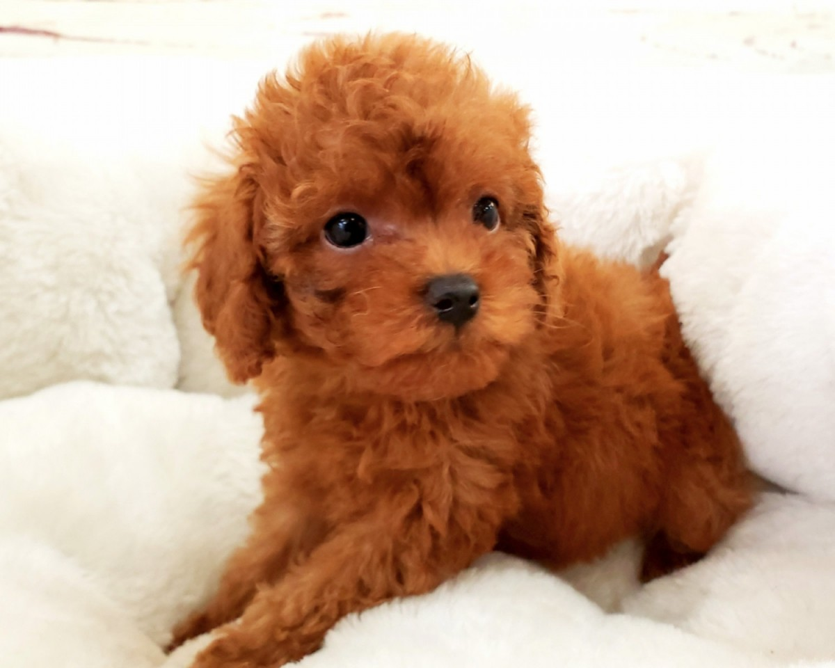 Buy Poodle Puppies for sale in New Hampshire USA