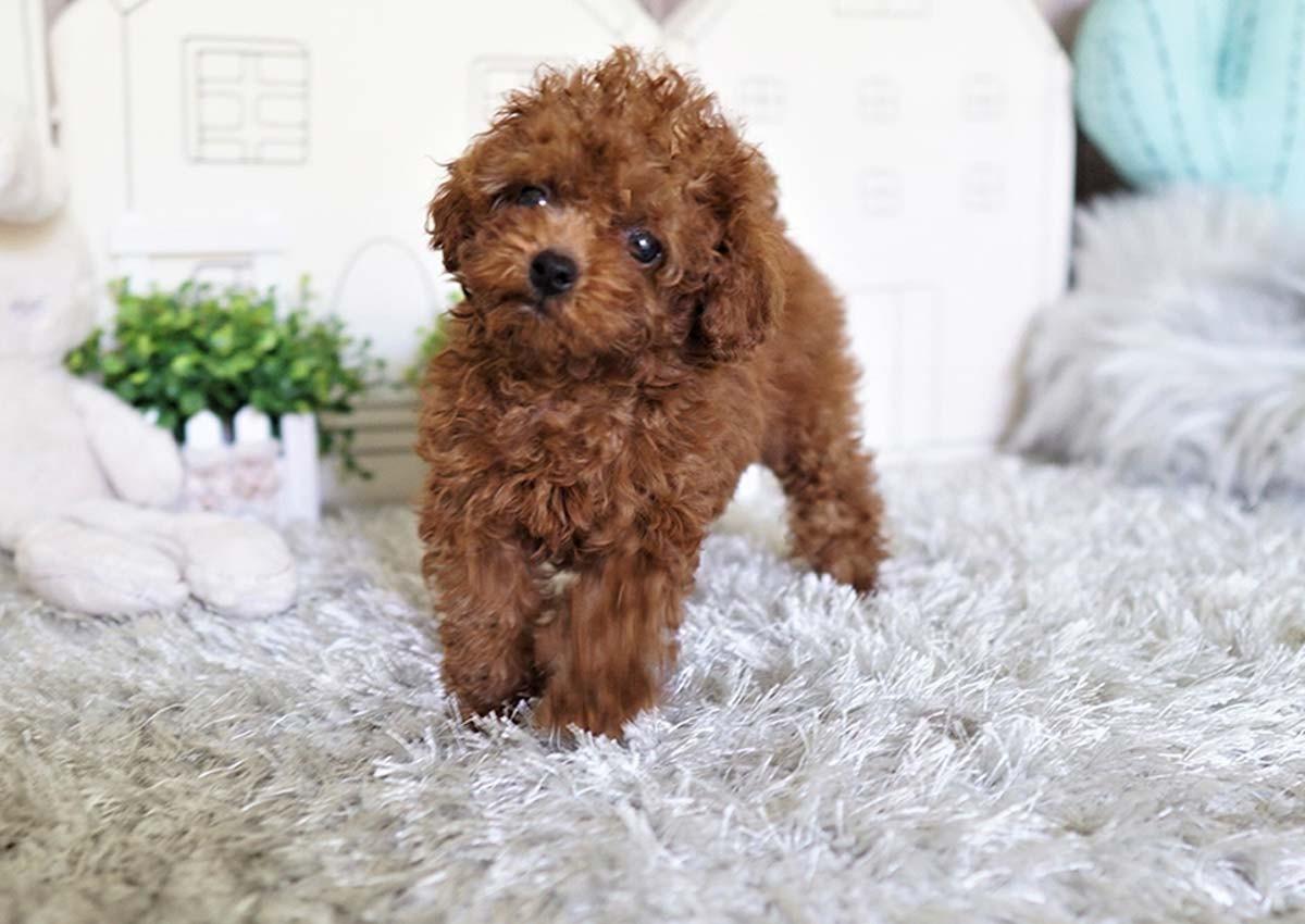Mini Poodle Puppies for sale Colorado USA