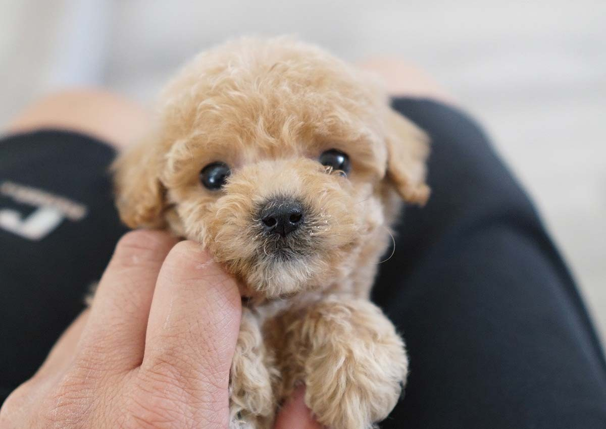 Poodle Puppies For Sale Orange County Ca 313024