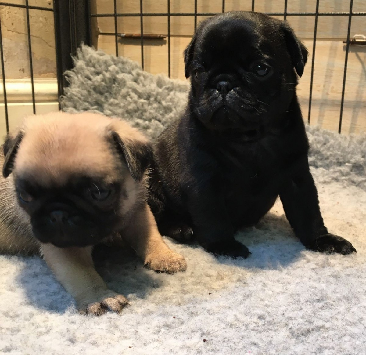 pug puppies for sale in ct pug puppies for sale new haven ct 170491 petzlover 2910