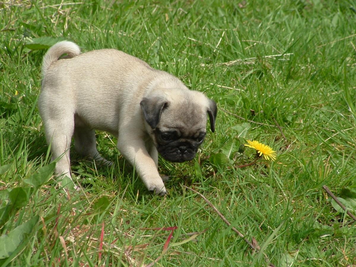 Ridgley Country Pugs - Home | Facebook