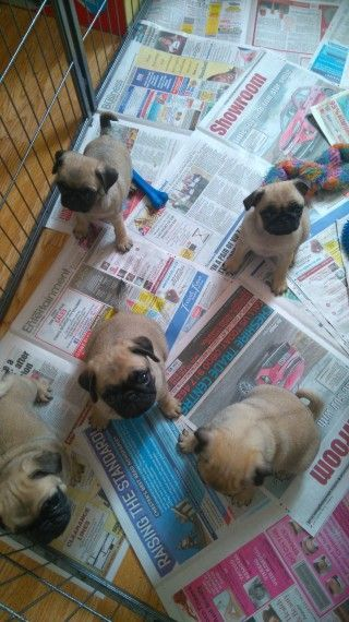 Dogs for sale in wisconsin dells