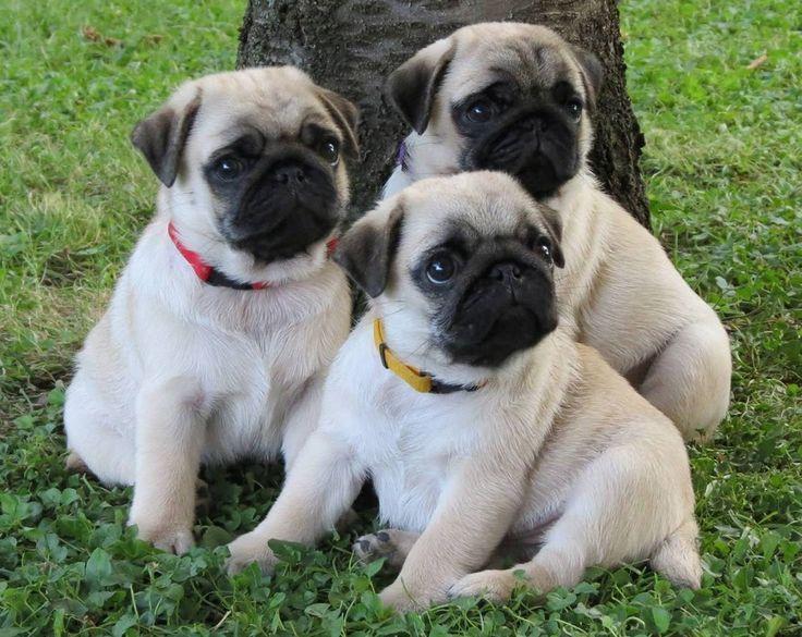 Cute Puppies Pug For Sale In Australian Capital Territory Australia
