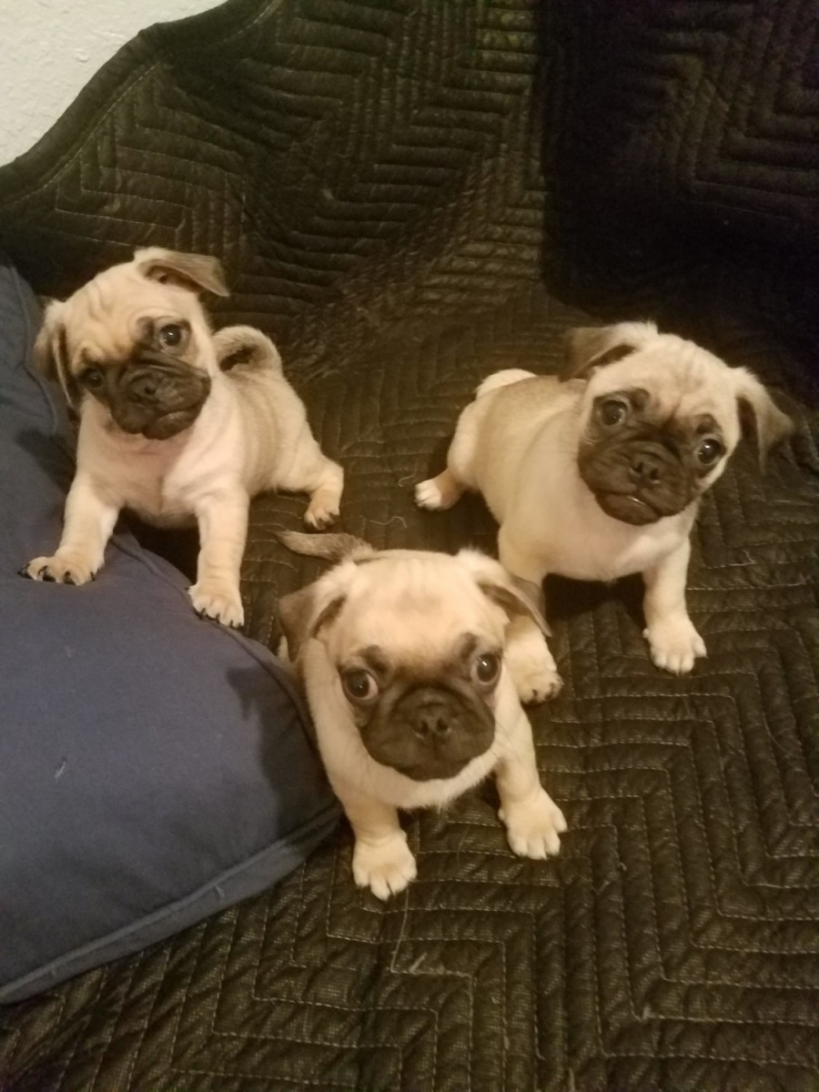 pug breeders in va pug puppies for sale roanoke va 287403 petzlover 6234