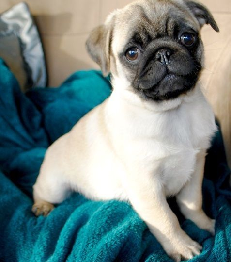 pug puppies for sale in alabama pug puppies for sale mountain brook al 288385 6469