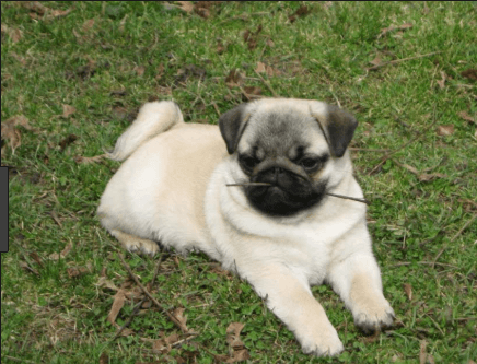 pug puppies for sale in az pug puppies for sale pima az 291889 petzlover 9693