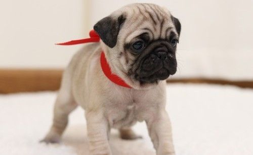 pug puppies for sale houston