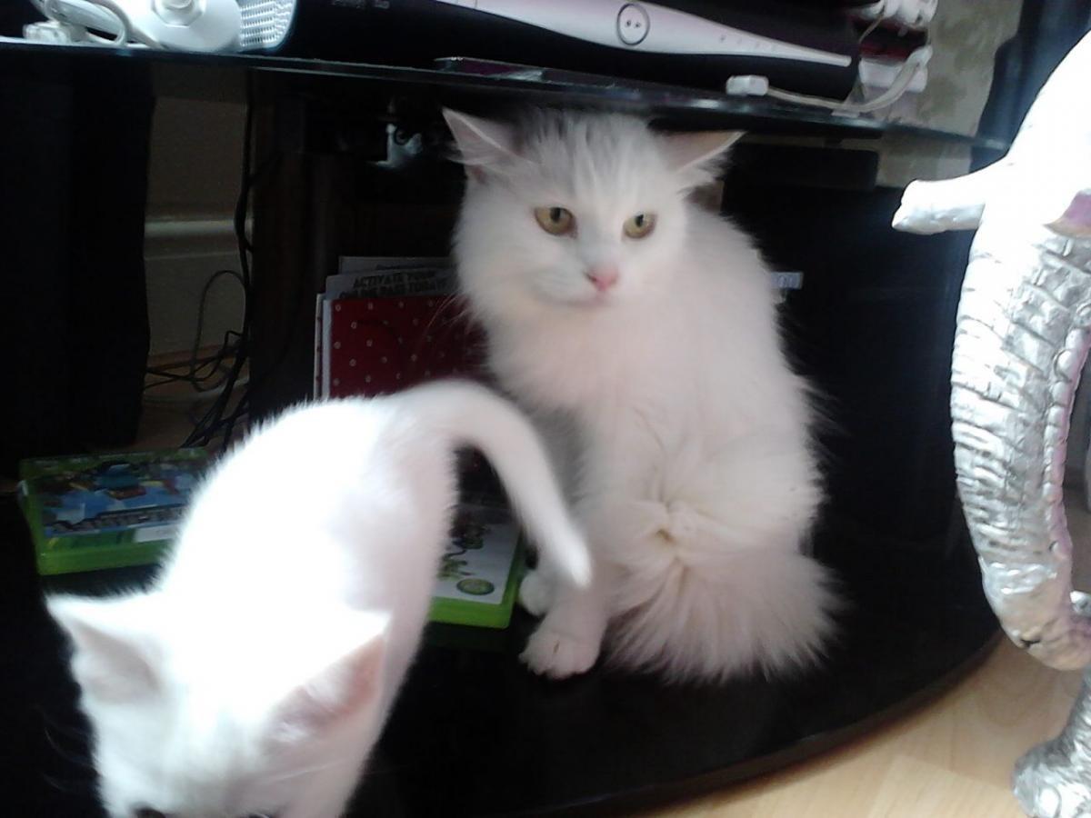 Ragdoll cats for sale oklahoma