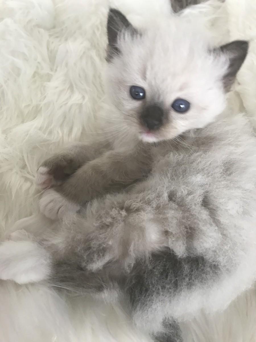 Florida Siamese Kittens for Sale FL Balinese Breeders ...