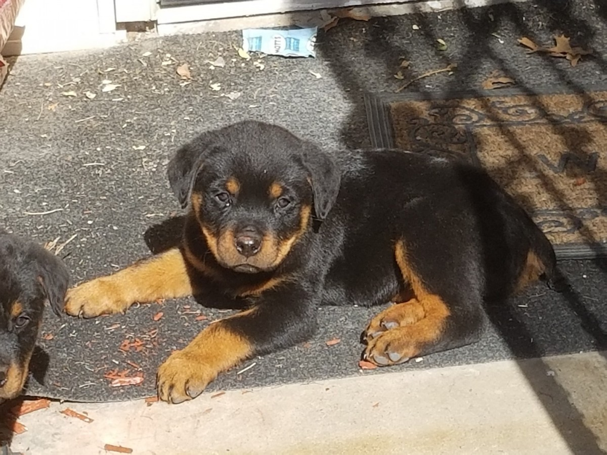 Buy Rottweiler Puppies For Sale In Wales UK