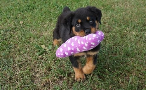 Rottweiler Puppies For Sale Savannah Ga 158284